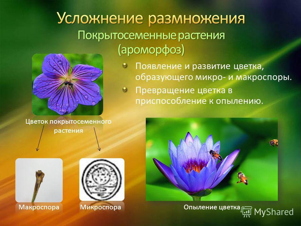 Появление и развитие цветка, образующего микро- и макроспоры. Превращение цветка в приспособление к опылению. МакроспораМикроспора Цветок покрытосеменного растения Опыление цветка