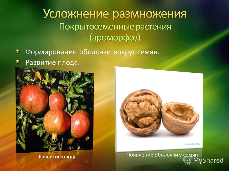 Формирование оболочки вокруг семян. Развитие плода. Развитие плода Появление оболочки у семян