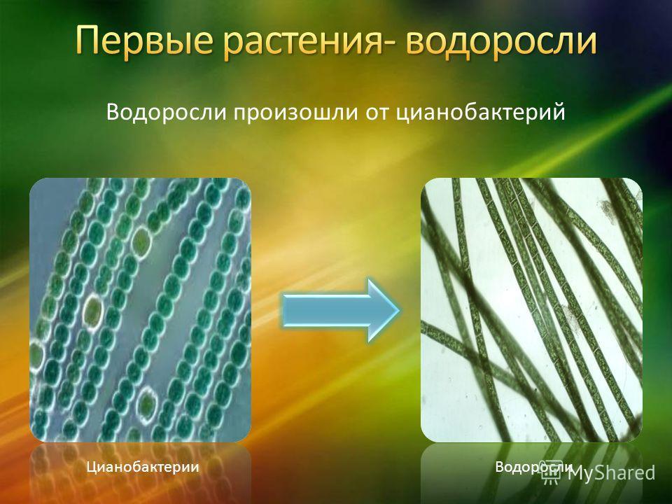 Водоросли произошли от цианобактерий ЦианобактерииВодоросли