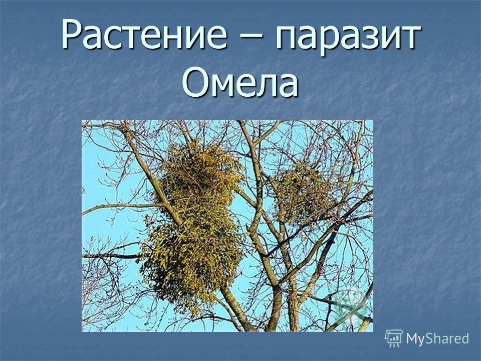 Растение – паразит Омела