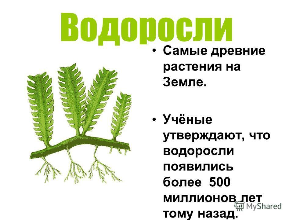 Водоросли Самые древние растения на Земле. Учёные утверждают, что водоросли появились более 500 миллионов лет тому назад.