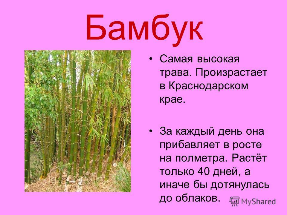 Бамбук Самая высокая трава. Произрастает в Краснодарском крае. За каждый день она прибавляет в росте на полметра. Растёт только 40 дней, а иначе бы дотянулась до облаков.