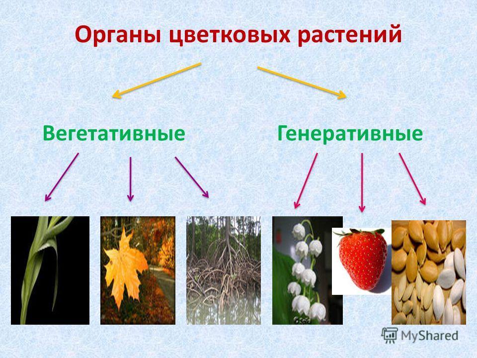 Органы цветковых растений ВегетативныеГенеративные