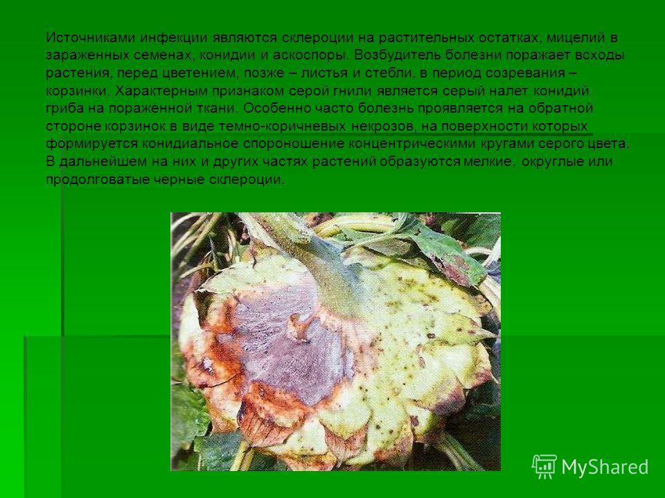 Источниками инфекции являются склероции на растительных остатках, мицелий в зараженных семенах, конидии и аскоспоры. Возбудитель болезни поражает всходы растения, перед цветением, позже – листья и стебли, в период созревания – корзинки. Характерным п