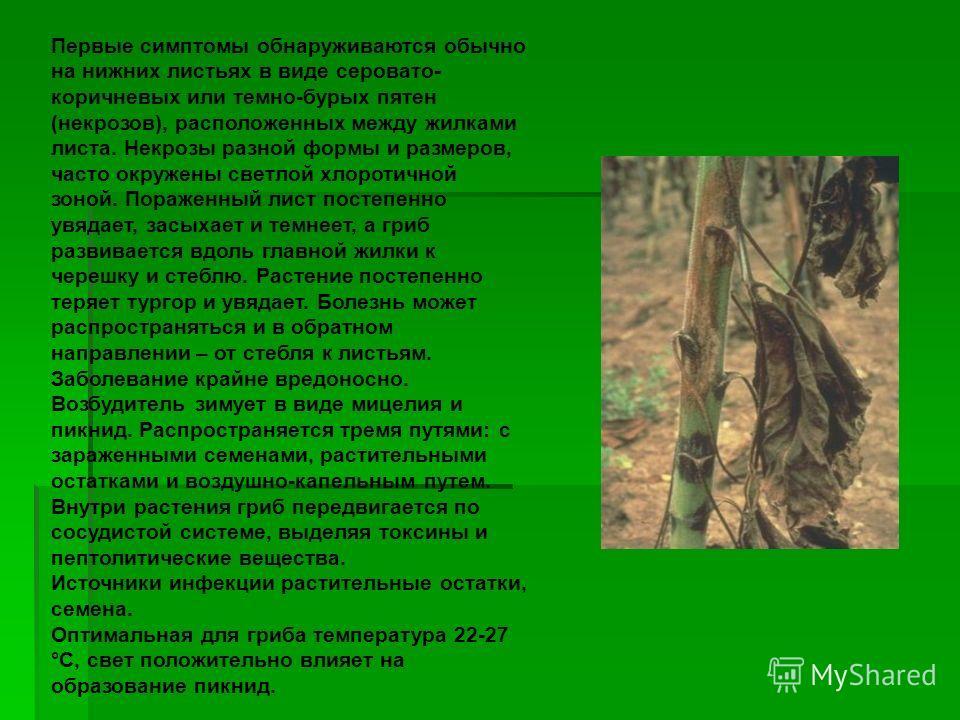 Первые симптомы обнаруживаются обычно на нижних листьях в виде серовато- коричневых или темно-бурых пятен (некрозов), расположенных между жилками листа. Некрозы разной формы и размеров, часто окружены светлой хлоротичной зоной. Пораженный лист постеп