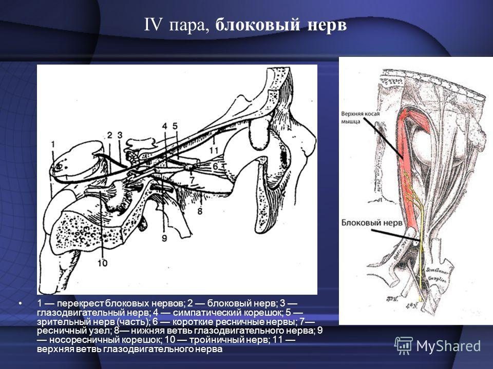 IV пара, блоковый нерв 1 перекрест блоковых нервов; 2 блоковый нерв; 3 глазодвигательный нерв; 4 симпатический корешок; 5 зрительный нерв (часть); 6 короткие ресничные нервы; 7 ресничный узел; 8 нижняя ветвь глазодвигательного нерва; 9 носоресничный