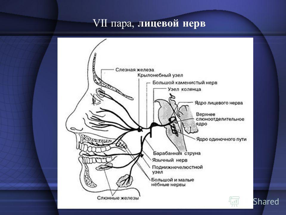 VII пара, лицевой нерв