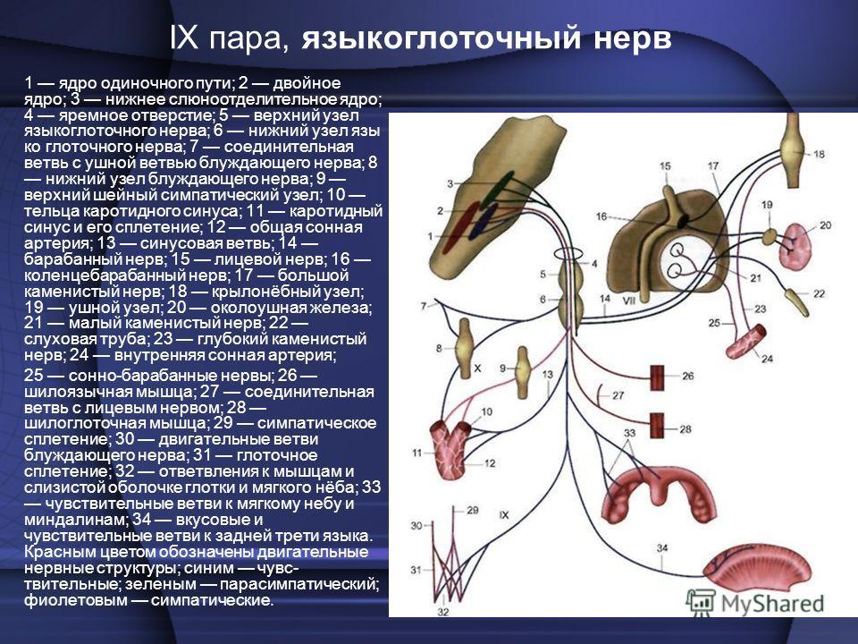 1 ядро одиночного пути; 2 двойное ядро; 3 нижнее слюноотделительное ядро; 4 яремное отверстие; 5 верхний узел языкоглоточного нерва; 6 нижний узел язы ко глоточного нерва; 7 соединительная ветвь с ушной ветвью блуждающего нерва; 8 нижний узел блуждаю