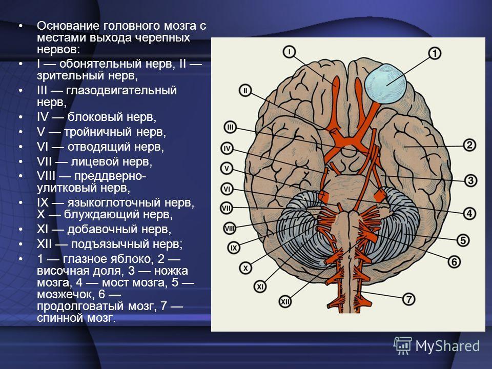 нервы черепно-мозговые фото