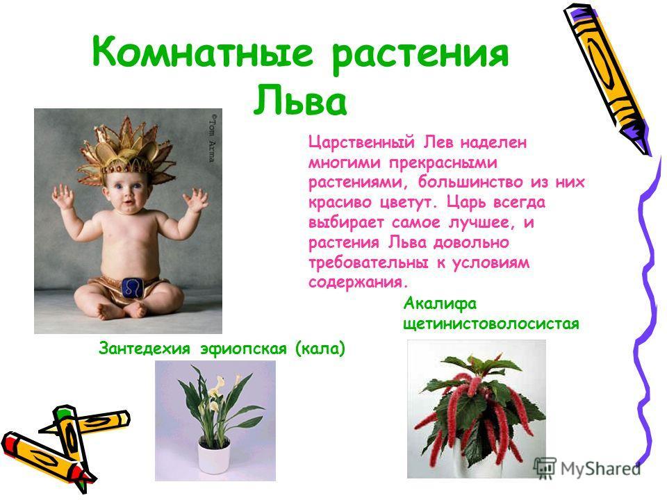 Комнатные растения Льва Царственный Лев наделен многими прекрасными растениями, большинство из них красиво цветут. Царь всегда выбирает самое лучшее, и растения Льва довольно требовательны к условиям содержания. Акалифа щетинистоволосистая Зантедехия
