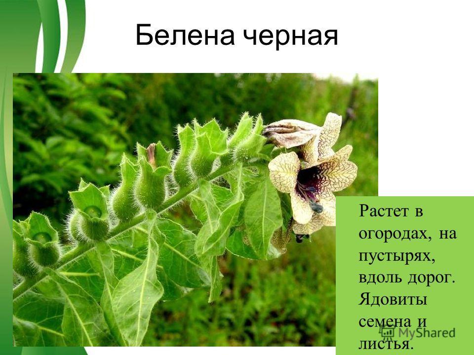 Free Powerpoint TemplatesPage 2 Белена черная Растет в огородах, на пустырях, вдоль дорог. Ядовиты семена и листья.