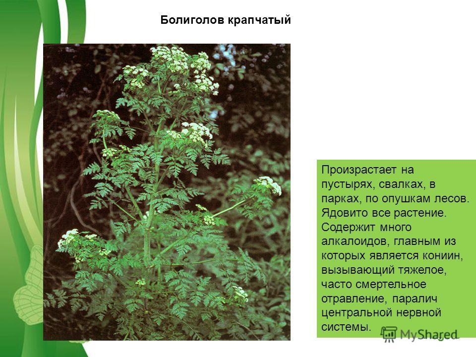 Free Powerpoint TemplatesPage 3 Болиголов крапчатый Произрастает на пустырях, свалках, в парках, по опушкам лесов. Ядовито все растение. Содержит много алкалоидов, главным из которых является кониин, вызывающий тяжелое, часто смертельное отравление,