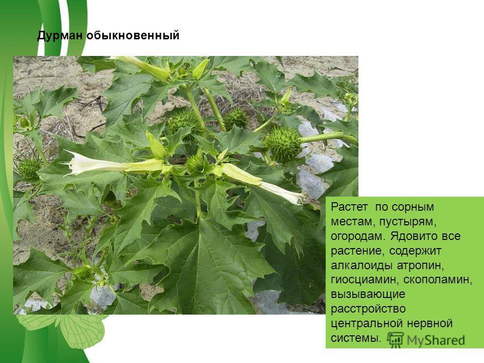 Free Powerpoint TemplatesPage 5 Дурман обыкновенный Растет по сорным местам, пустырям, огородам. Ядовито все растение, содержит алкалоиды атропин, гиосциамин, скополамин, вызывающие расстройство центральной нервной системы.