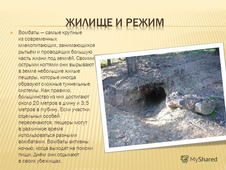 Вомбаты самые крупные из современных млекопитающих, занимающихся рытьём и проводящих большую часть жизни под землёй. Своими острыми когтями они вырывают в земле небольшие жилые пещеры, которые иногда образуют сложные туннельные системы. Как правило,