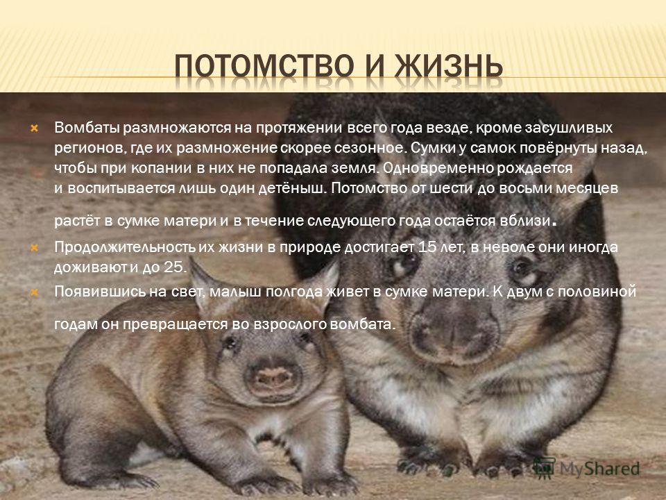 Вомбаты размножаются на протяжении всего года везде, кроме засушливых регионов, где их размножение скорее сезонное. Сумки у самок повёрнуты назад, чтобы при копании в них не попадала земля. Одновременно рождается и воспитывается лишь один детёныш. По