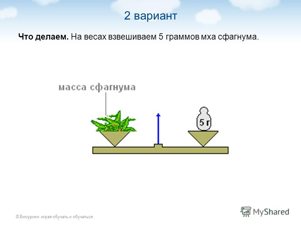 © Биоуроки: играя обучать и обучаться. 2 вариант Что делаем. На весах взвешиваем 5 граммов мха сфагнума.