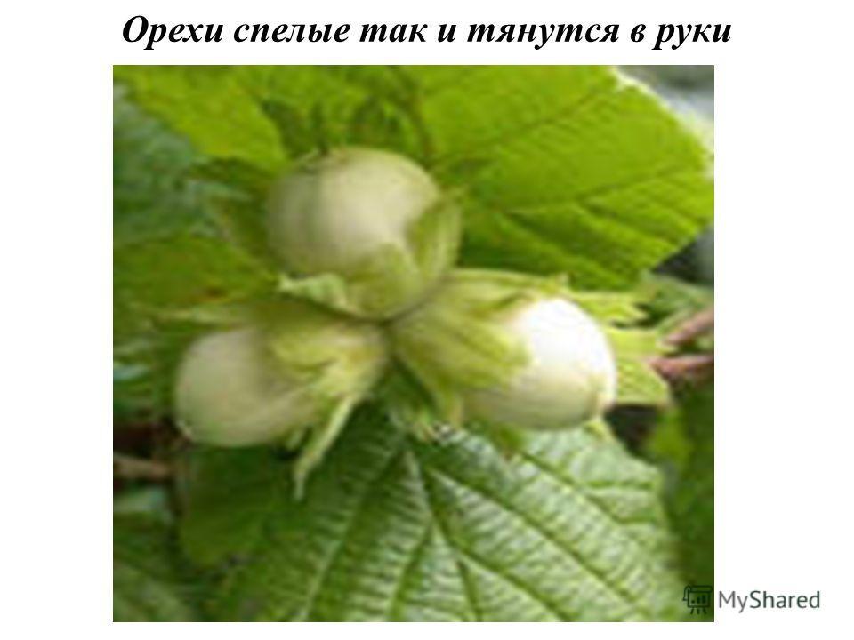 Орехи спелые так и тянутся в руки