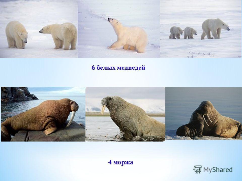 6 белых медведей 4 моржа