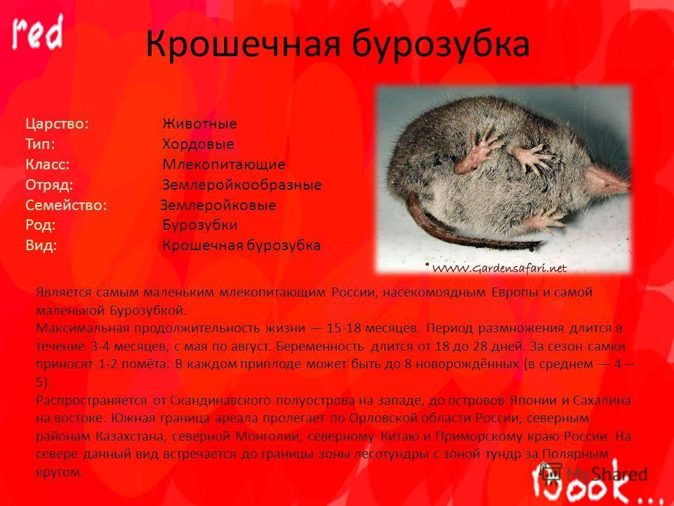 Крошечная бурозубка Царство: Животные Тип: Хордовые Класс: Млекопитающие Отряд: Землеройкообразные Семейство: Землеройковые Род: Бурозубки Вид: Крошечная бурозубка Является самым маленьким млекопитающим России, насекомоядным Европы и самой маленькой