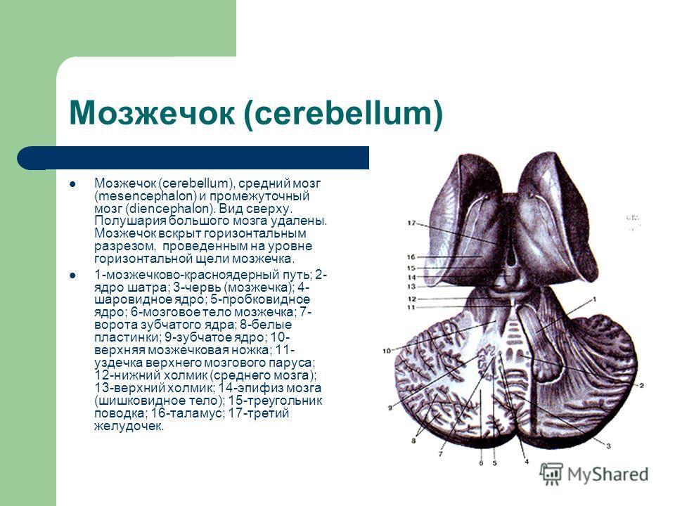 Мозжечок (cerebellum) Мозжечок (cerebellum), средний мозг (mesencephalon) и промежуточный мозг (diencephalon). Вид сверху. Полушария большого мозга удалены. Мозжечок вскрыт горизонтальным разрезом, проведенным на уровне горизонтальной щели мозжечка.