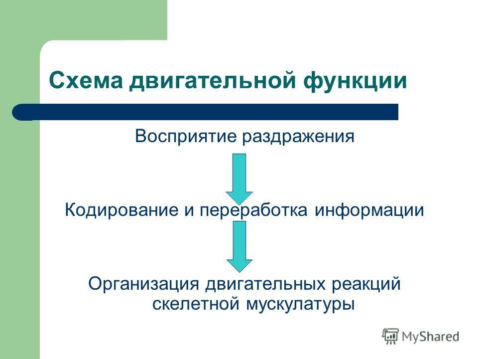Схема двигательной функции Восприятие раздражения Кодирование и переработка информации Организация двигательных реакций скелетной мускулатуры