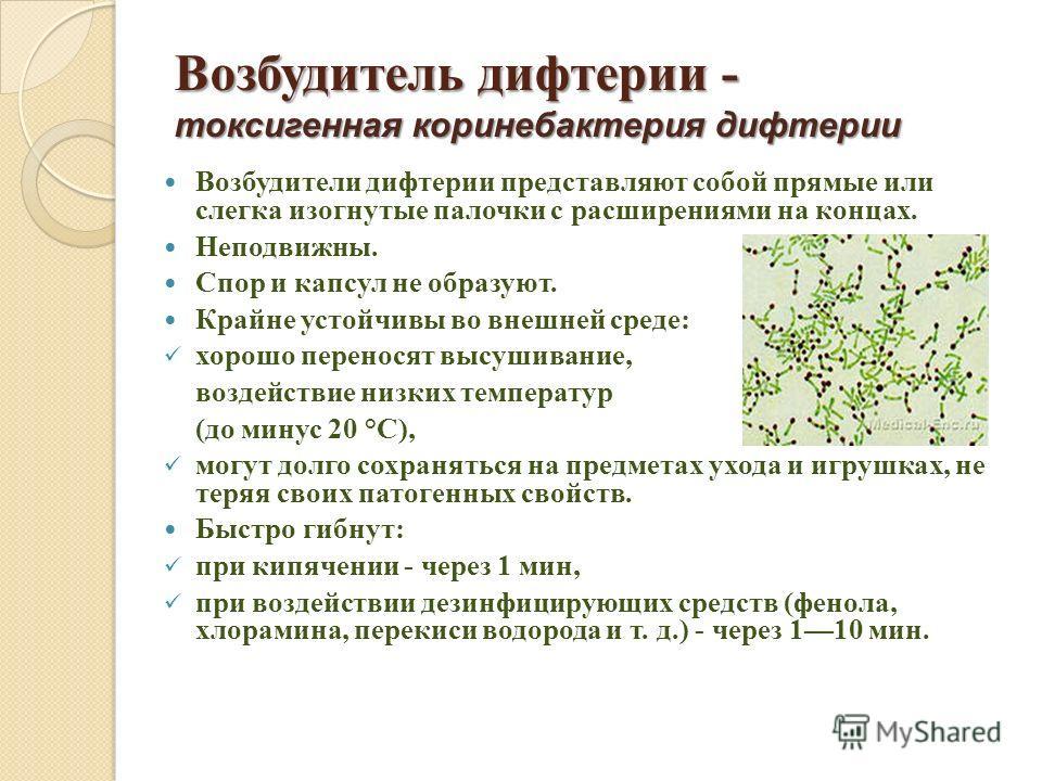 Возбудитель дифтерии - токсигенная коринебактерия дифтерии Возбудители дифтерии представляют собой прямые или слегка изогнутые палочки с расширениями на концах. Неподвижны. Спор и капсул не образуют. Крайне устойчивы во внешней среде: хорошо перенося