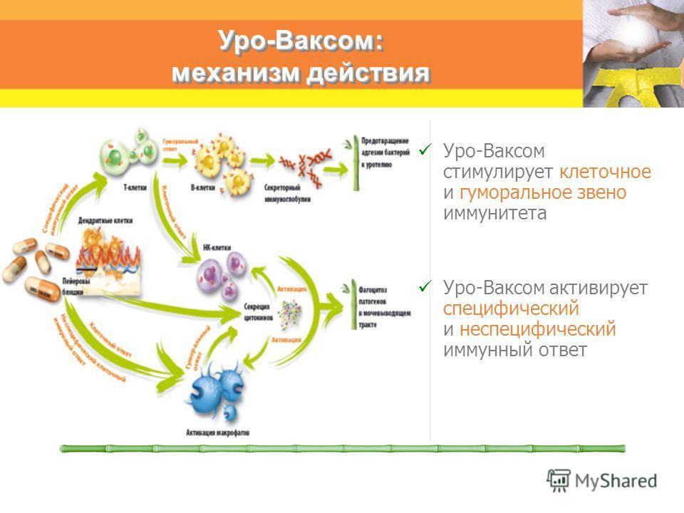 Уро-Ваксом стимулирует клеточное и гуморальное звено иммунитета Уро-Ваксом активирует специфический и неспецифический иммунный ответ