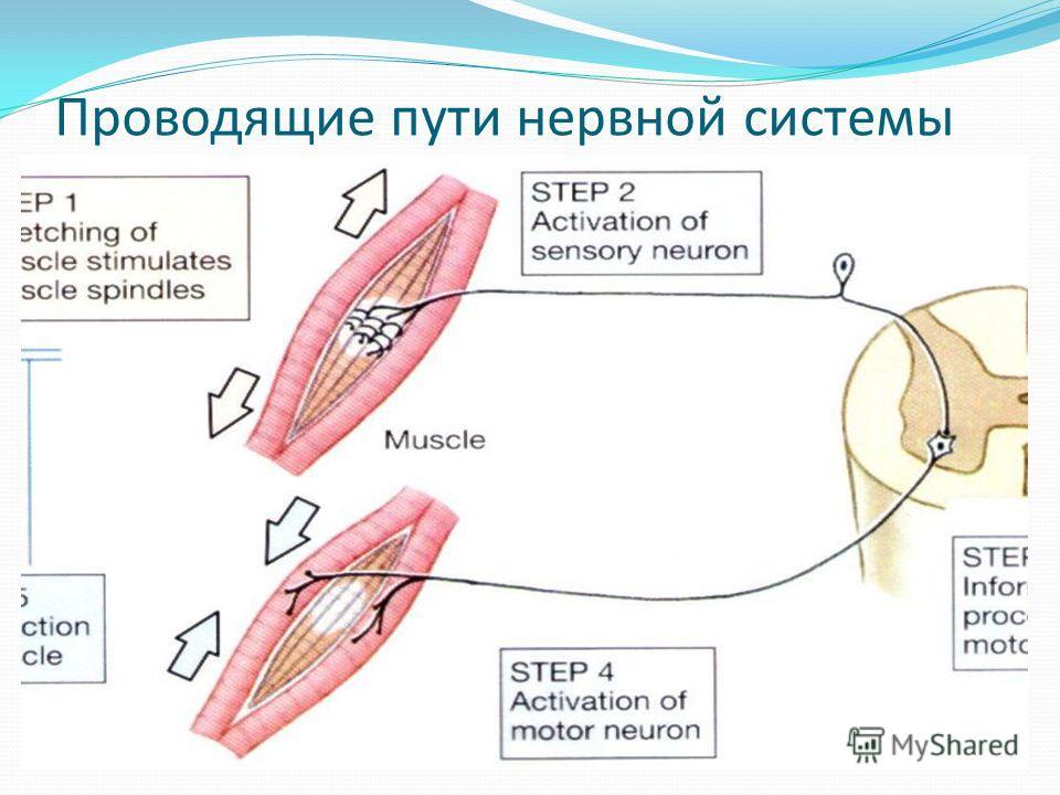Проводящие пути нервной системы