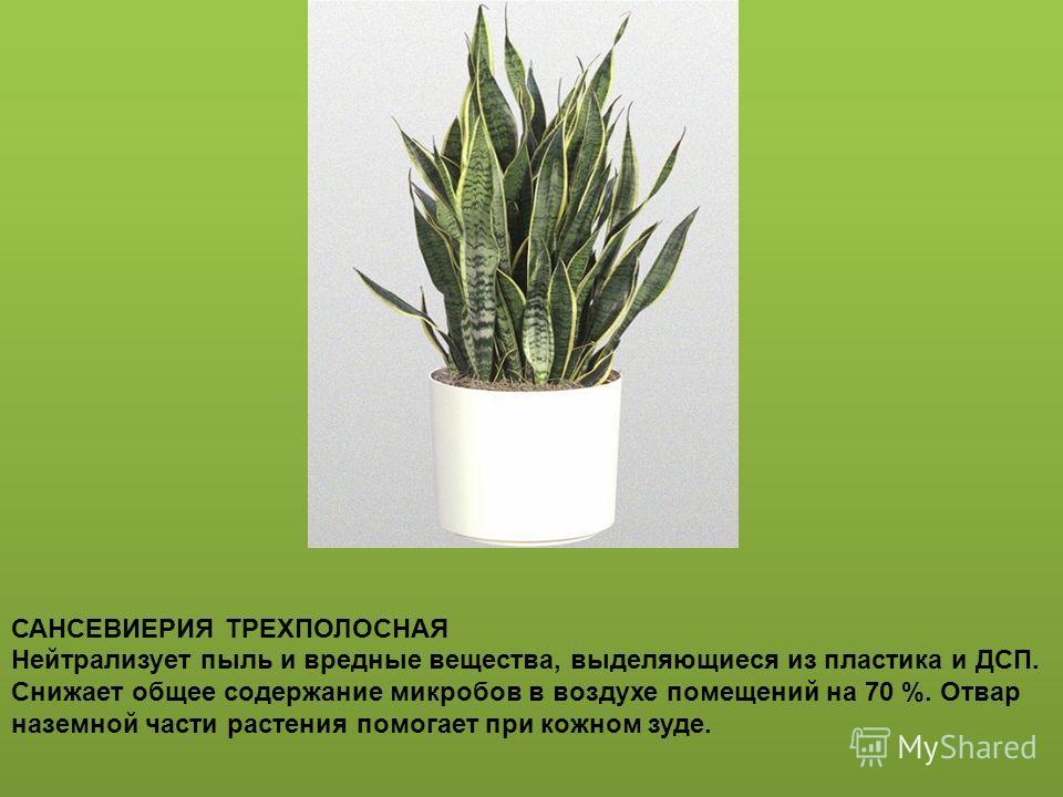 Герань (Pelargonium), или пеларгония, выполняет функцию «домашнего доктора» при функциональных расстройствах нервной системы. Аромат герани снимает нервное напряжение, помогает при бессоннице, неврозах, стрессах, а также при онкологии. Выделяемое ею