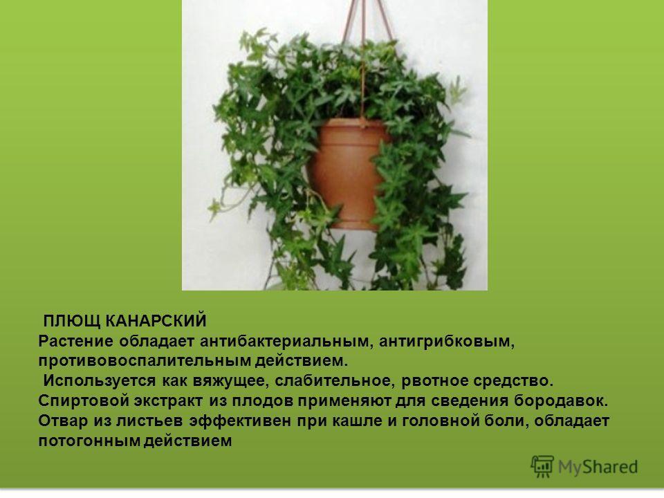 АЗАЛИЯ ИНДИЙСКАЯ Очищает воздух в помещениях от формальдегида на 6,3 %. Поддерживает в доме положительную энергетику