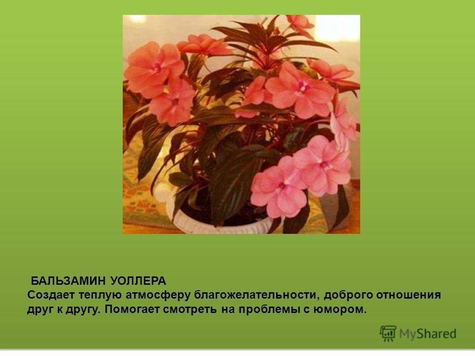 ПРИМУЛА ОБКОНИКА Растение богато витамином С. С лекарственными целями используют все части примулы -корни, листья, цветки. Редким и очень ценным свойством листьев является то, что при быстром высушивании (при температуре +120-130 С) они сохраняют до