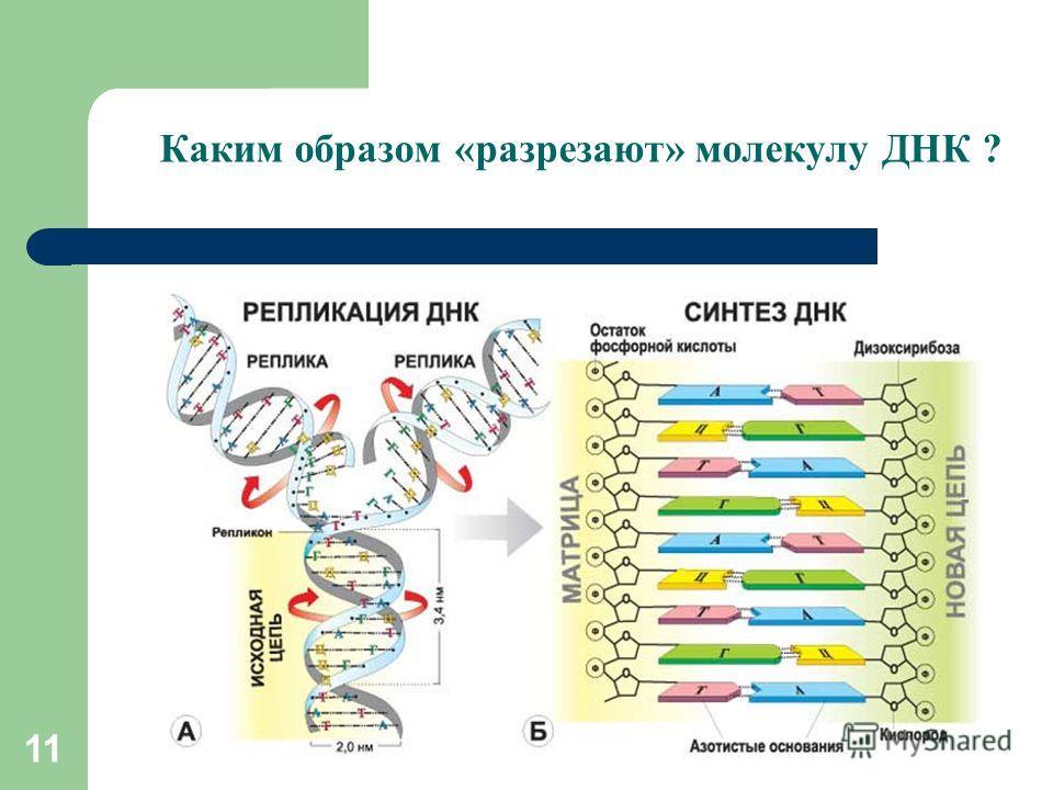 11 Каким образом «разрезают» молекулу ДНК ?