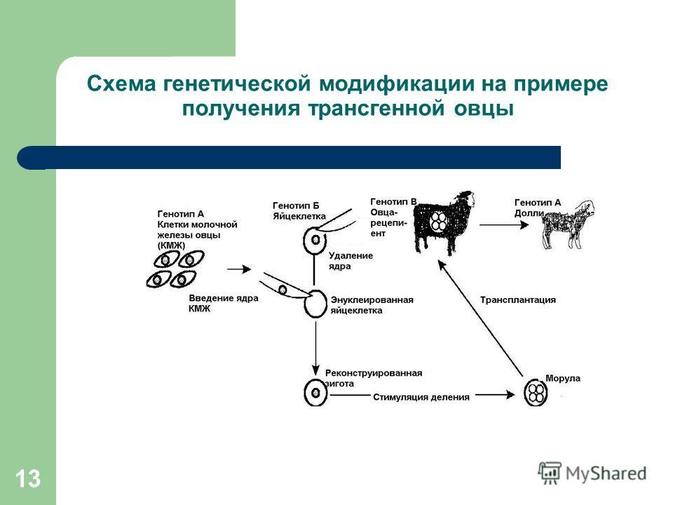 13 Схема генетической модификации на примере получения трансгенной овцы