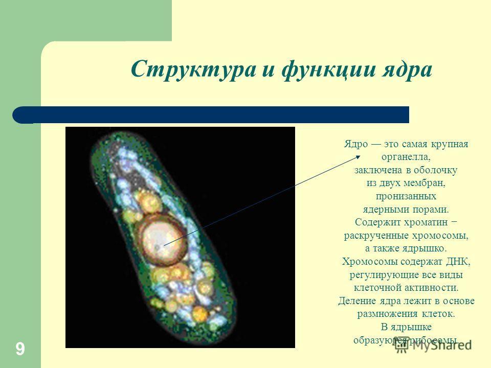 9 Структура и функции ядра Ядро это самая крупная органелла, заключена в оболочку из двух мембран, пронизанных ядерными порами. Содержит хроматин раскрученные хромосомы, а также ядрышко. Хромосомы содержат ДНК, регулирующие все виды клеточной активно