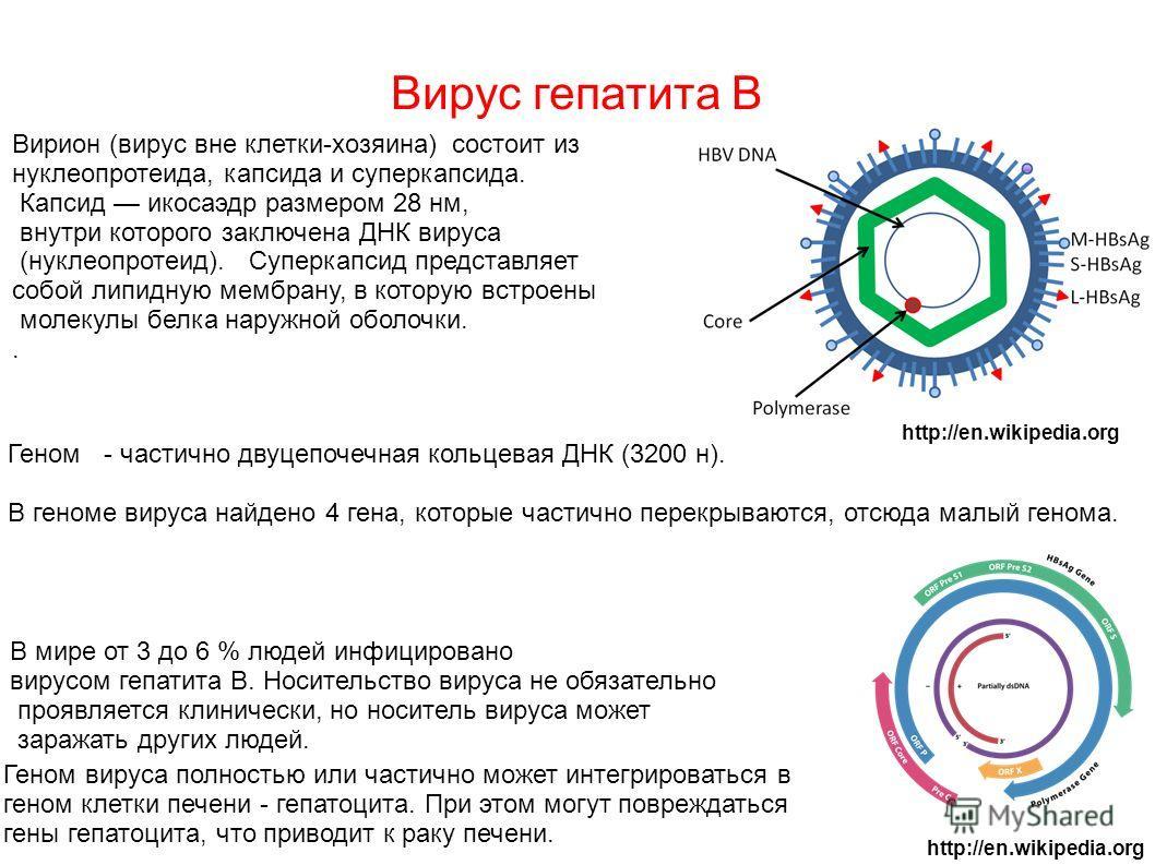 Вирус гепатита В Вирион (вирус вне клетки-хозяина) состоит из нуклеопротеида, капсида и суперкапсида. Капсид икосаэдр размером 28 нм, внутри которого заключена ДНК вируса (нуклеопротеид). Суперкапсид представляет собой липидную мембрану, в которую вс