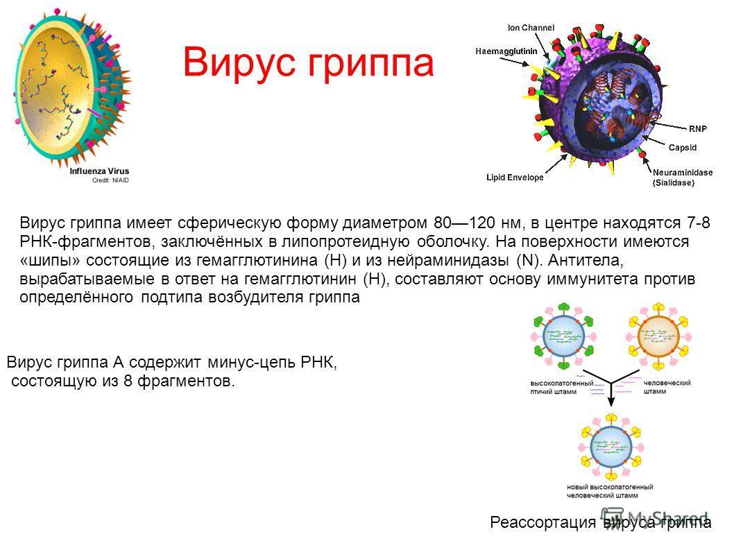 Вирус гриппа Вирус гриппа имеет сферическую форму диаметром 80120 нм, в центре находятся 7-8 РНК-фрагментов, заключённых в липопротеидную оболочку. На поверхности имеются «шипы» состоящие из гемагглютинина (H) и из нейраминидазы (N). Антитела, выраба