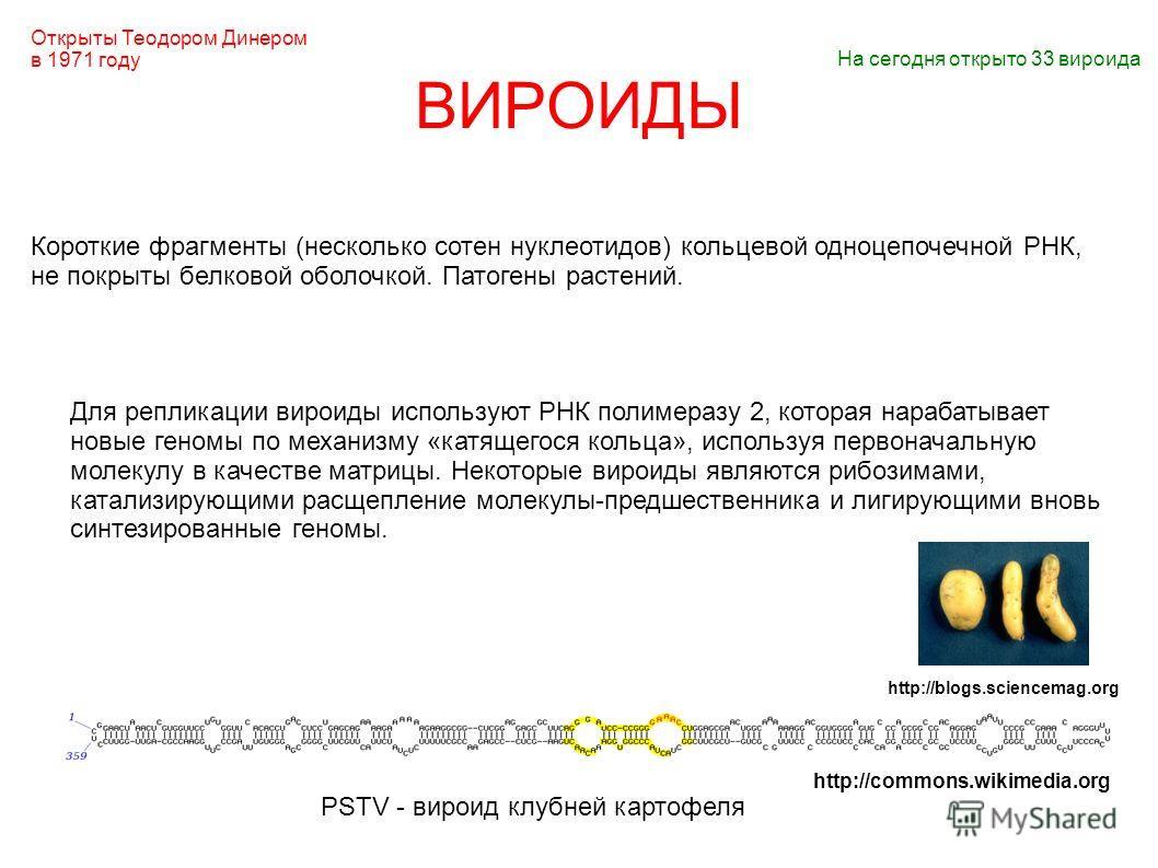 ВИРОИДЫ Короткие фрагменты (несколько сотен нуклеотидов) кольцевой одноцепочечной РНК, не покрыты белковой оболочкой. Патогены растений. PSTV - вироид клубней картофеля Для репликации вироиды используют РНК полимеразу 2, которая нарабатывает новые ге