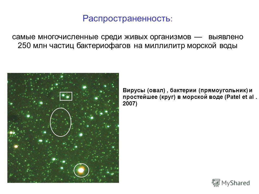 Распространенность : самые многочисленные среди живых организмов выявлено 250 млн частиц бактериофагов на миллилитр морской воды р Вирусы (овал), бактерии (прямоугольник) и простейшее (круг) в морской воде (Patel et al. 2007)