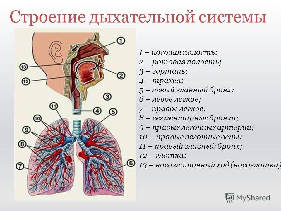 Строение дыхательной системы 1 – носовая полость; 2 – ротовая полость; 3 – гортань; 4 – трахея; 5 – левый главный бронх; 6 – левое легкое; 7 – правое легкое; 8 – сегментарные бронхи; 9 – правые легочные артерии; 10 – правые легочные вены; 11 – правый