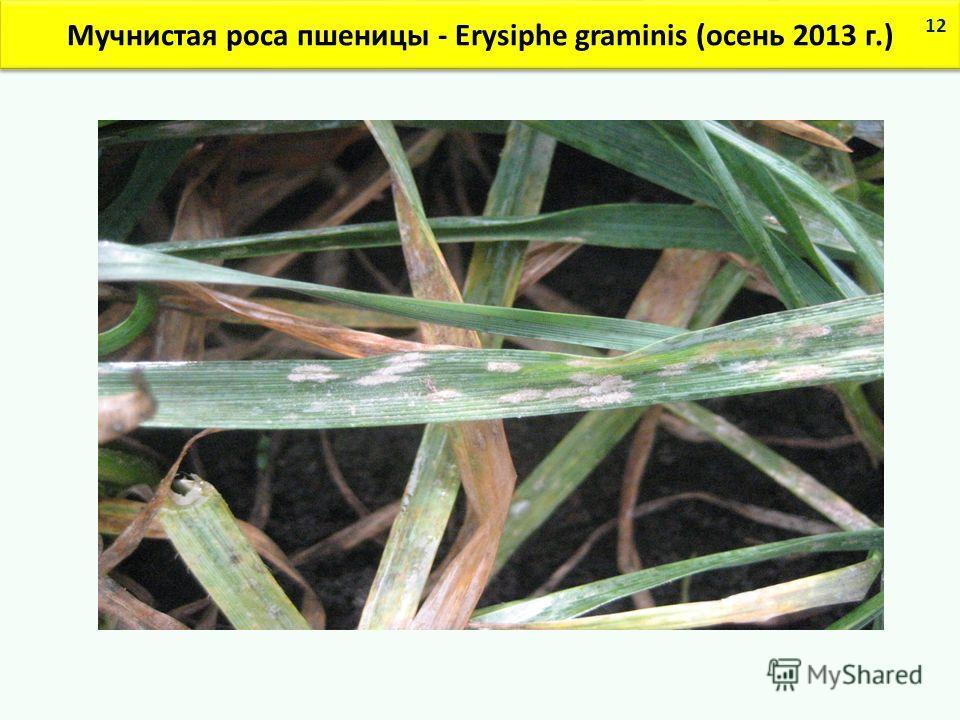 Мучнистая роса пшеницы - Erysiphe graminis (осень 2013 г.) 12