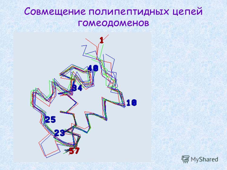 Совмещение полипептидных цепей гомеодоменов