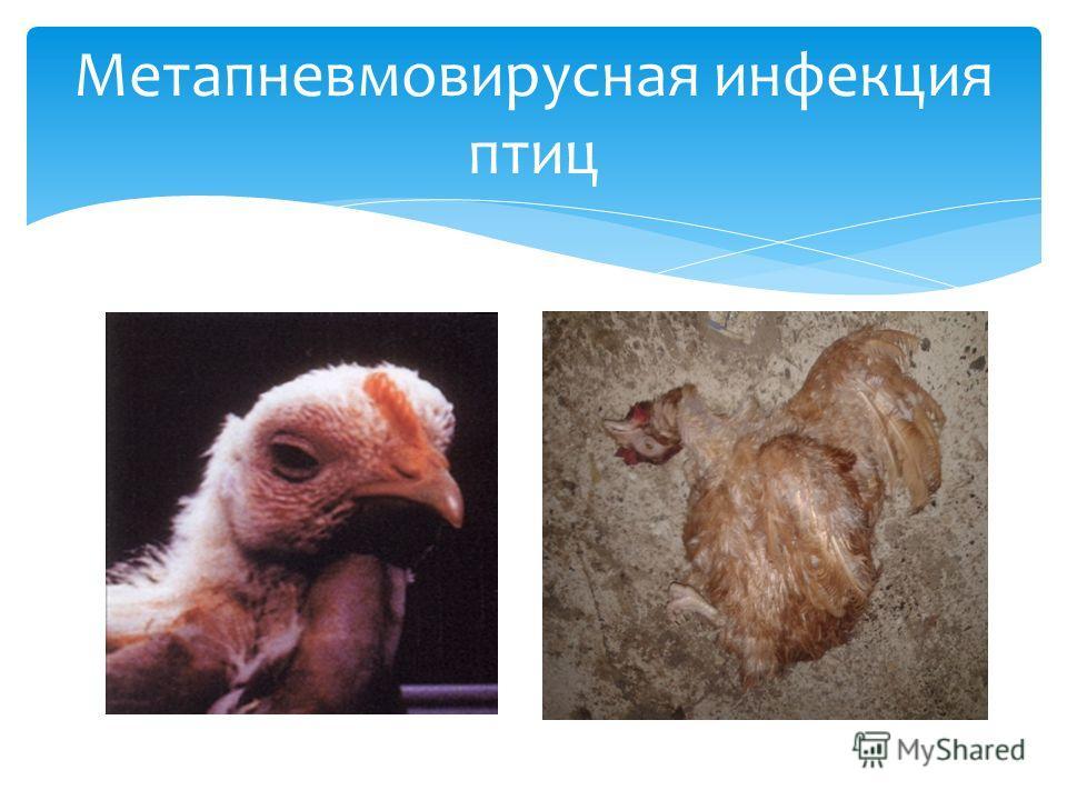 Метапневмовирусная инфекция птиц