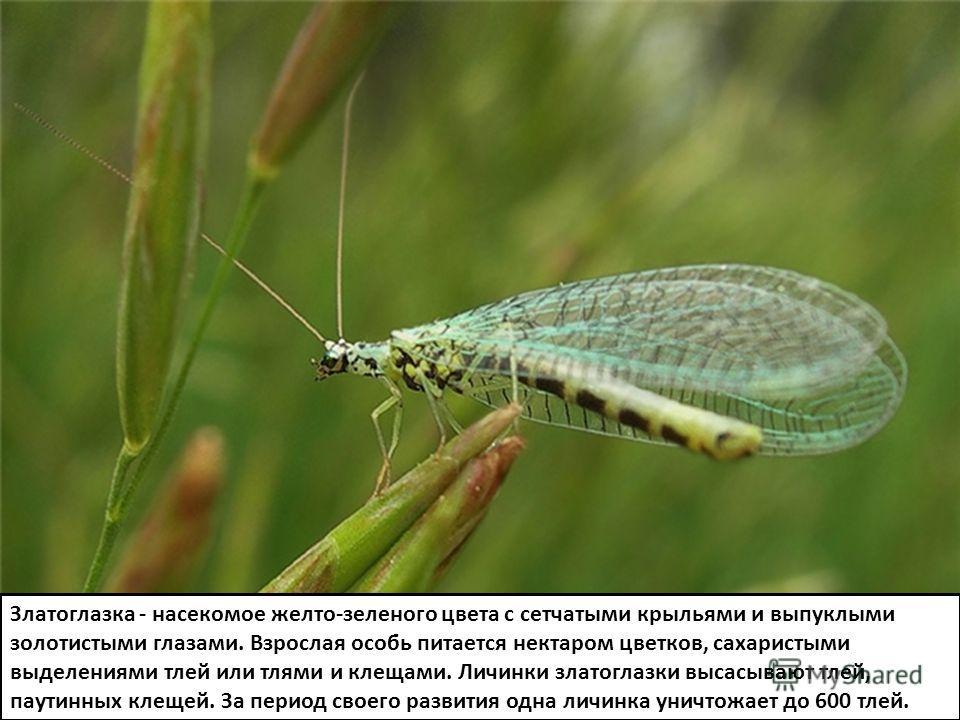 Златоглазка - насекомое желто-зеленого цвета с сетчатыми крыльями и выпуклыми золотистыми глазами. Взрослая особь питается нектаром цветков, сахаристыми выделениями тлей или тлями и клещами. Личинки златоглазки высасывают тлей, паутинных клещей. За п