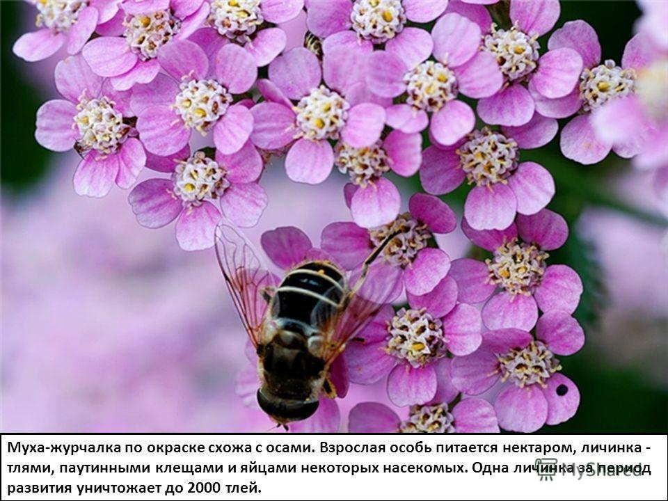 Муха-журчалка по окраске схожа с осами. Взрослая особь питается нектаром, личинка - тлями, паутинными клещами и яйцами некоторых насекомых. Одна личинка за период развития уничтожает до 2000 тлей.