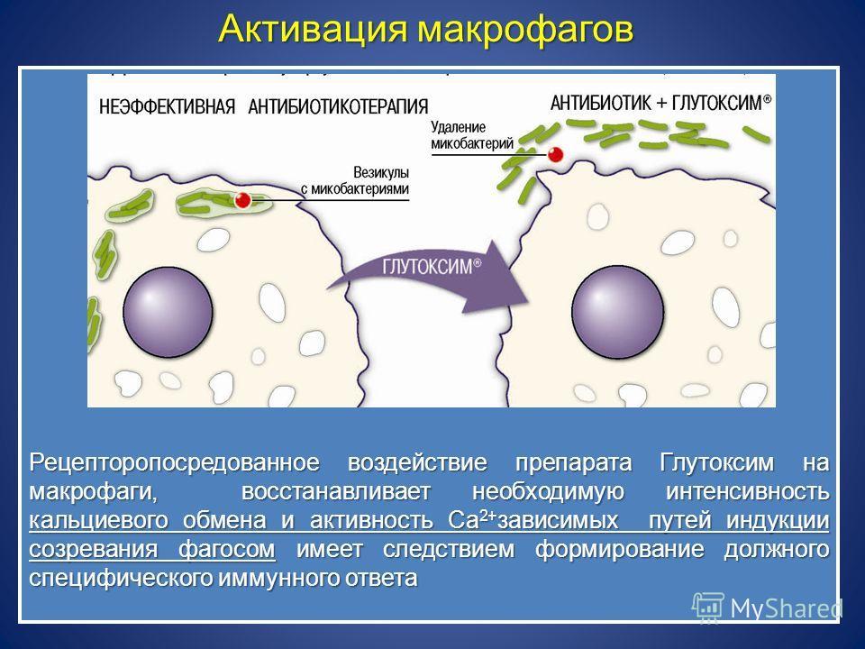 Рецепторопосредованное воздействие препарата Глутоксим на макрофаги, восстанавливает необходимую интенсивность кальциевого обмена и активность Са 2+ зависимых путей индукции созревания фагосом имеет следствием формирование должного специфического имм