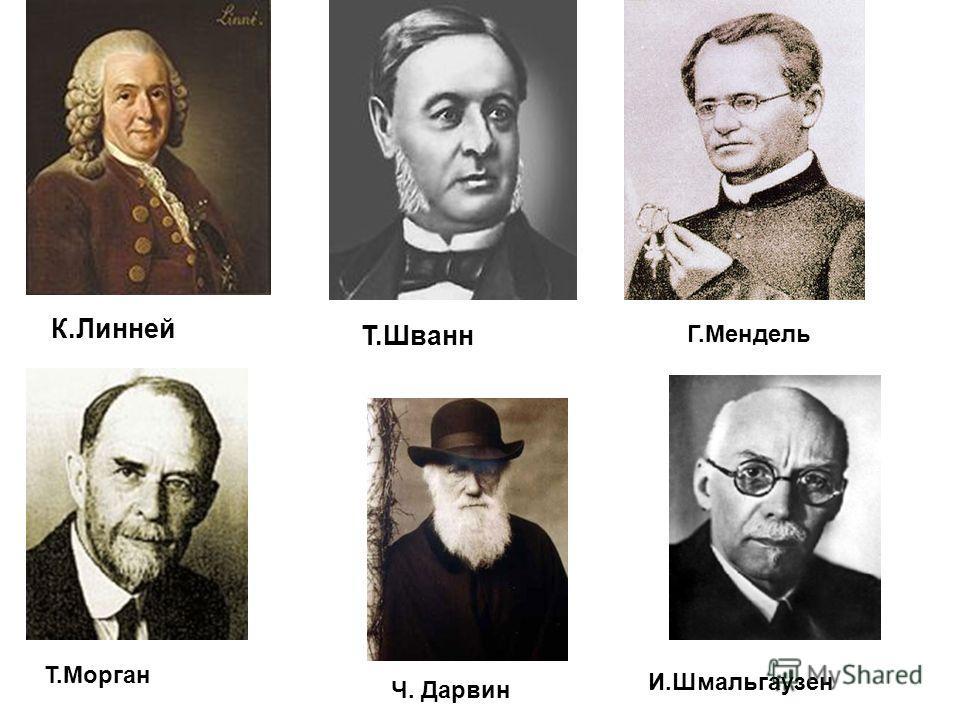 К.Линней Т.Шванн Г.Мендель Т.Морган Ч. Дарвин И.Шмальгаузен
