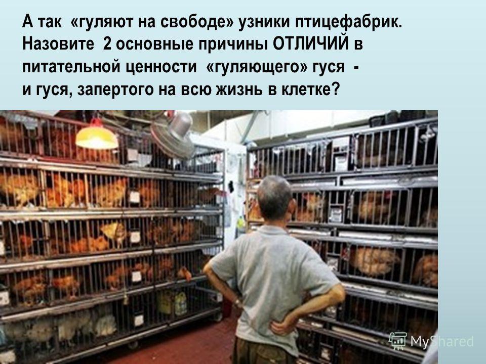 А так «гуляют на свободе» узники птицефабрик. Назовите 2 основные причины ОТЛИЧИЙ в питательной ценности «гуляющего» гуся - и гуся, запертого на всю жизнь в клетке?
