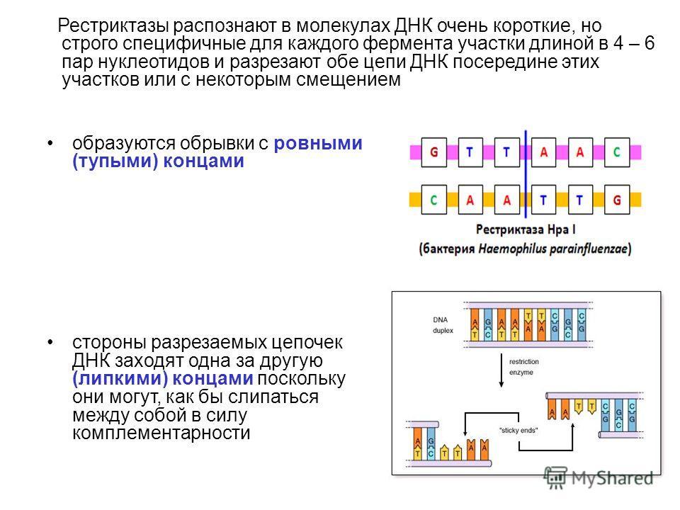 Рестриктазы распознают в молекулах ДНК очень короткие, но строго специфичные для каждого фермента участки длиной в 4 – 6 пар нуклеотидов и разрезают обе цепи ДНК посередине этих участков или с некоторым смещением образуются обрывки с ровными (тупыми)