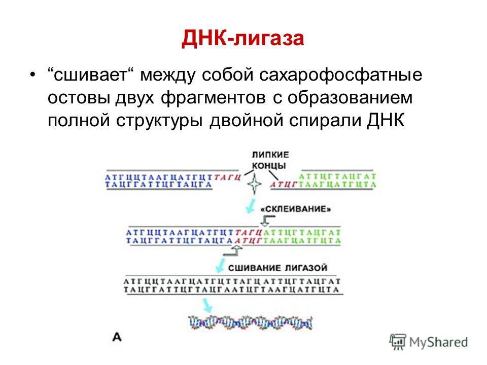 ДНК-лигаза сшивает между собой сахарофосфатные остовы двух фрагментов с образованием полной структуры двойной спирали ДНК