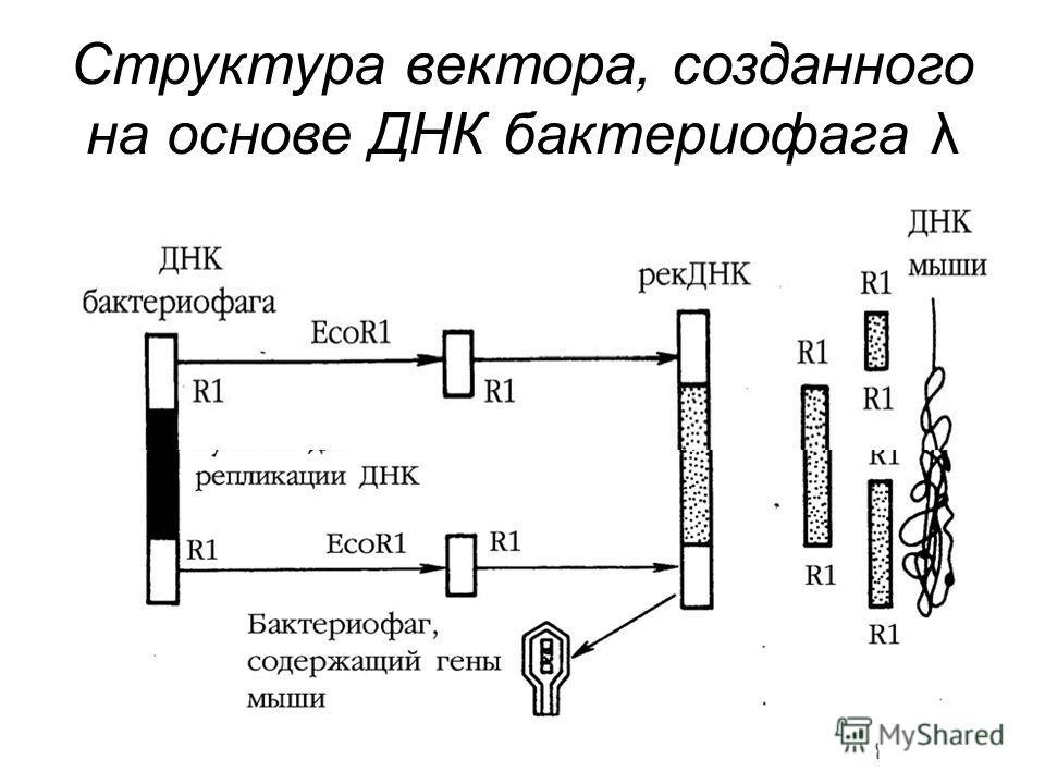 Структура вектора, созданного на основе ДНК бактериофага λ